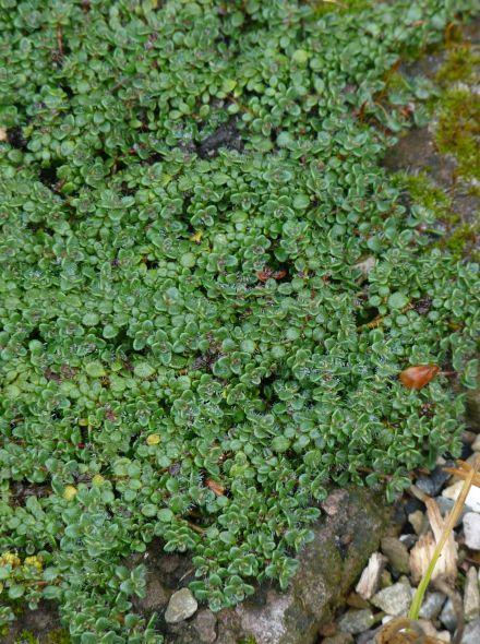 Thymus praecox 'Minor' (Kruiptijm, Kleine tijm)