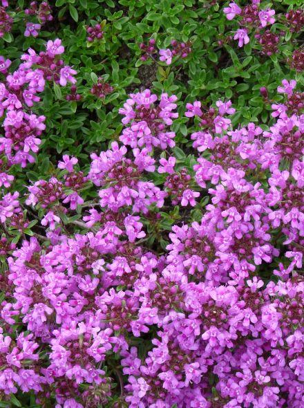 Thymus praecox 'Purple Beauty' (Kruiptijm, Kleine tijm)