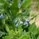 Smeerwortel (Symphytum azureum) - p9