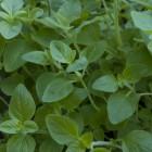 Wilde marjolein (Origanum vulgare) - p9