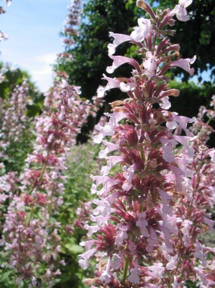 Nepeta grandiflora 'Dawn To Dusk' (Kattekruid, Kattenkruid)