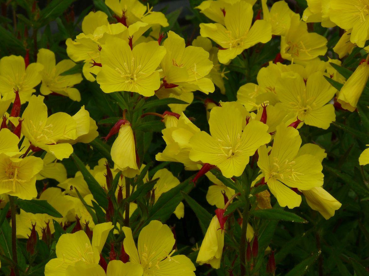 Oenothera fruticosa 'Fyrverkeri' (Teunisbloem)