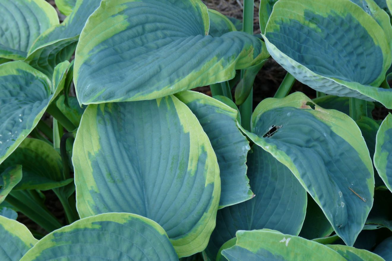 Hosta sieboldiana 'Frances Williams' (Hartlelie)