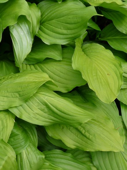 Hosta plantaginea 'Grandiflora' (Hartlelie)