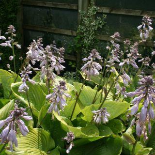 Hosta Sum and Substance (Hartlelie, Funkien, Herzblattlilien, Hostas, Plantain lilies)