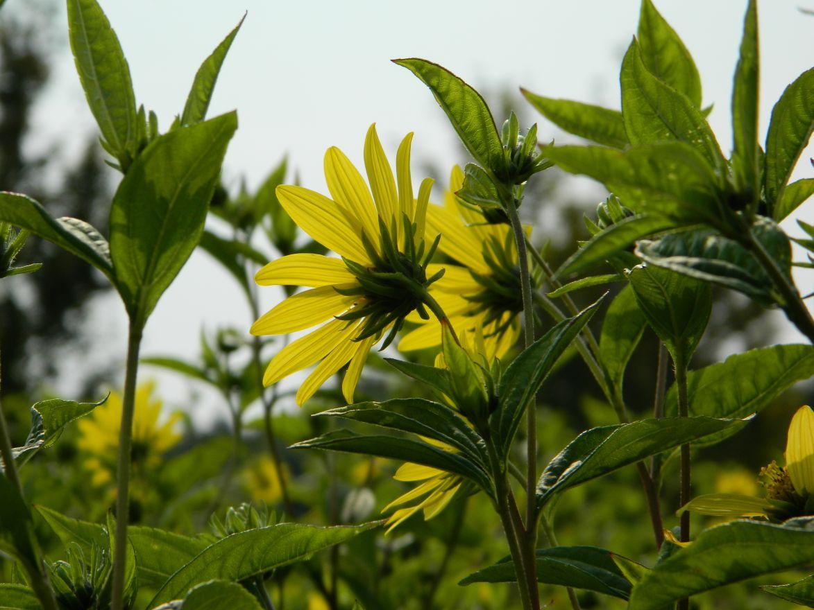 Helianthus 'Lemon Queen' (Zonnebloem)