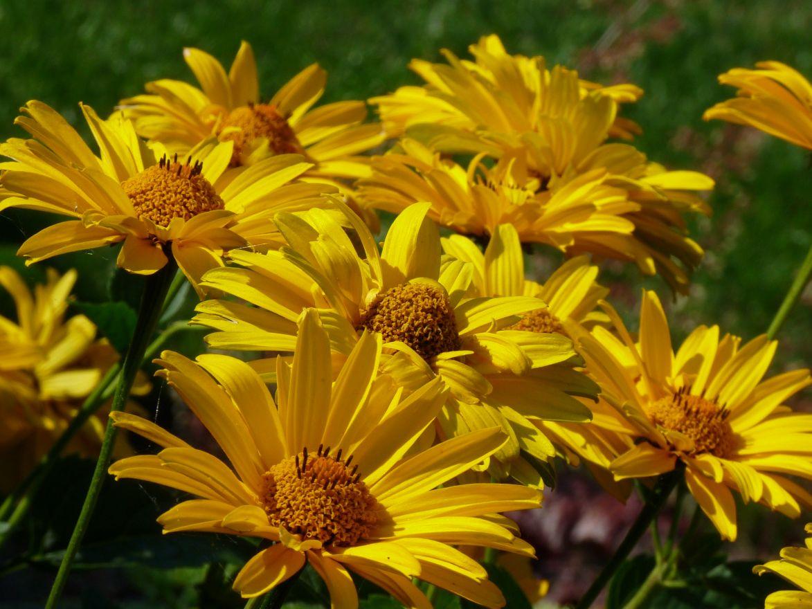 Heliopsis helianthoides 'Summer Sun' (Zonneoog)
