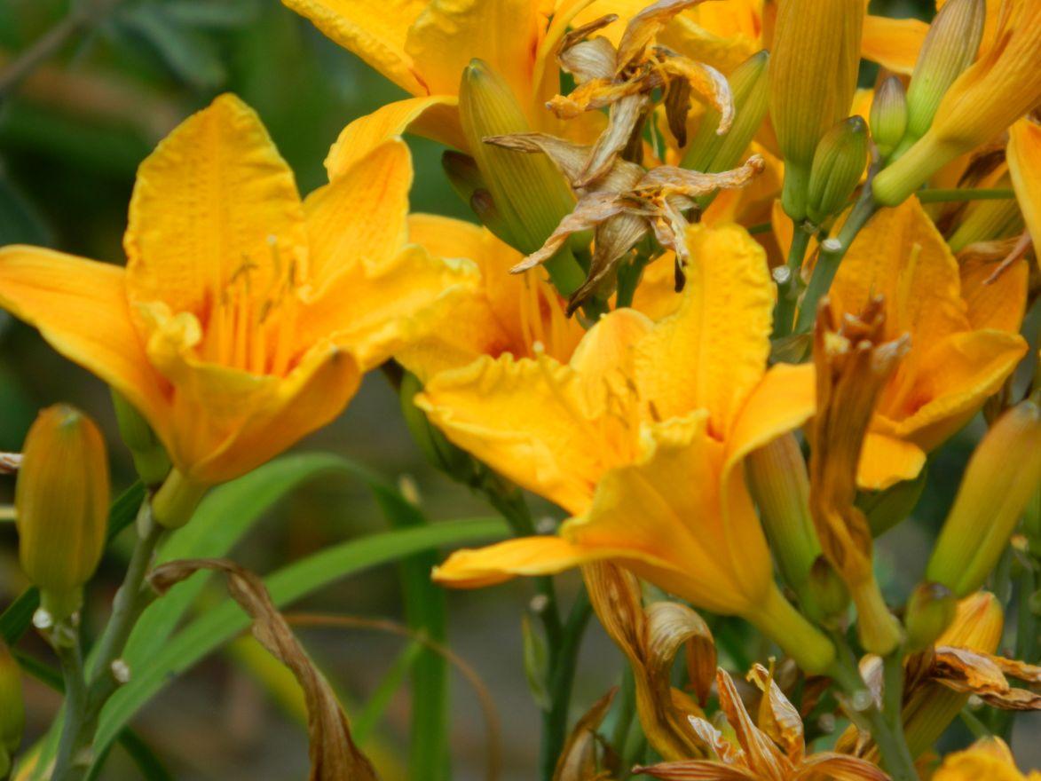 Hemerocallis 'Little Paul' (Daglelie)