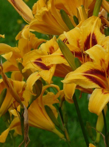 Hemerocallis 'Radiant Eyes' (Daglelie, Hemerocallis 'Radiant Greetings)