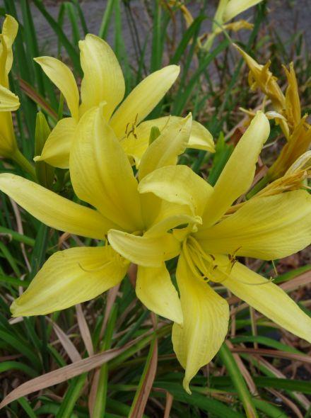Hemerocallis 'Hyperion' (Daglelie)
