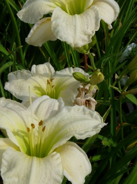 Hemerocallis 'Gentle Shepherd' (Daglelie)