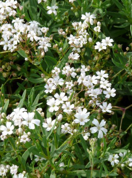 Gypsophila repens 'Alba' (Gipskruid, Kruipend gipskruid)