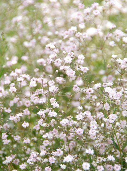 Gypsophila 'Rosenschleier' (Gipskruid)