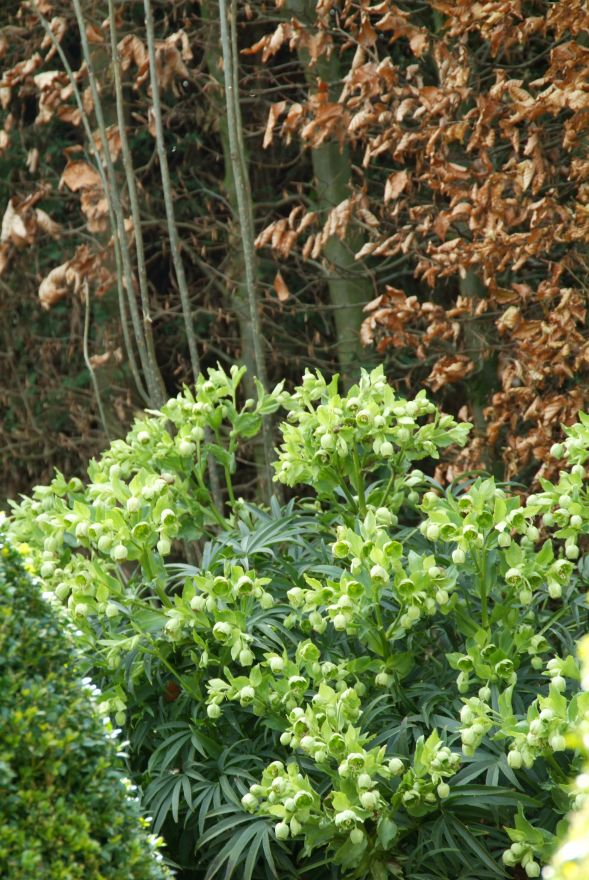 Helleborus foetidus (Nieskruid, Stinkend nieskruid)