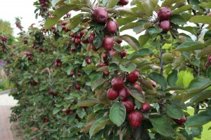 De fruithaag als tuinafscheiding!