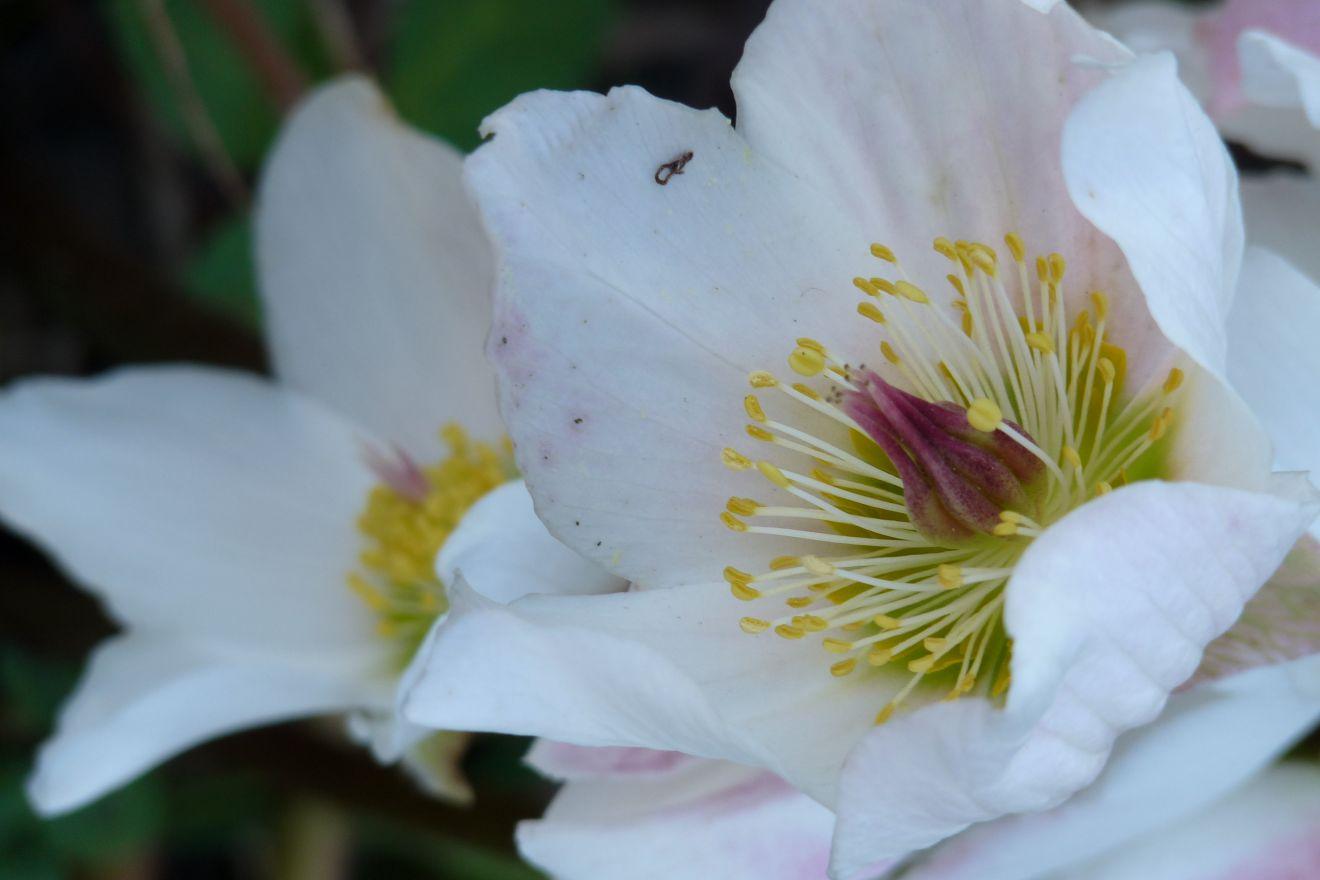 Helleborus niger (Nieskruid, Witte kerstroos)