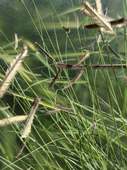 Bouteloua gracilis (Muskietengras)