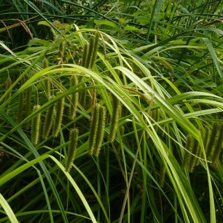 Carex pseudocyperus (Hoge cyperzegge)