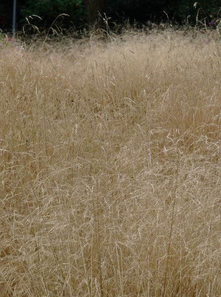 Deschampsia cespitosa 'Goldschleier' (Ruwe smele)
