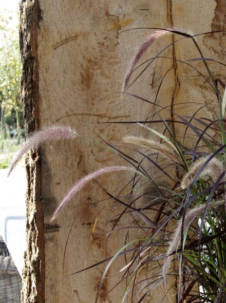 Pennisetum setaceum 'Rubrum' (Lampenpoetsergras of Hazestaart)