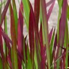 Imperata cylindrica 'Red Baron' (Japans bloedgras) - p9