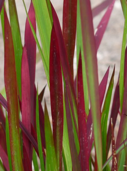 Imperata cylindrica 'Red Baron' (Japans bloedgras)