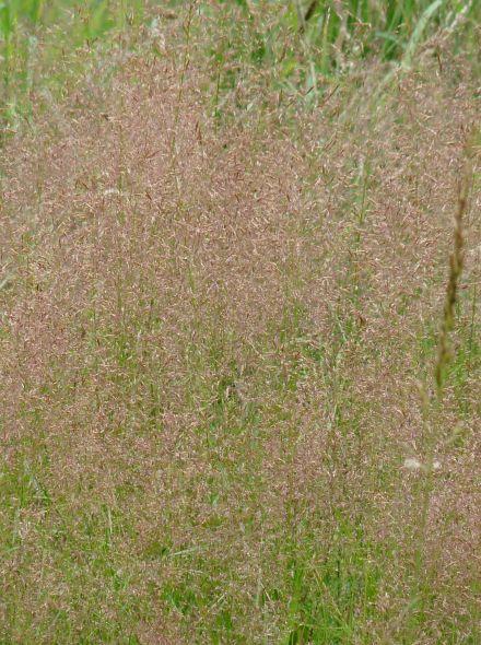 Eragrostis spectabilis (Liefdesgras)