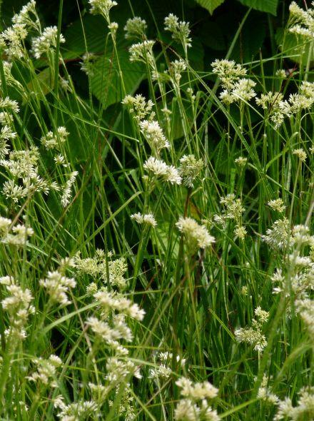 Luzula nivea (Veldbies)