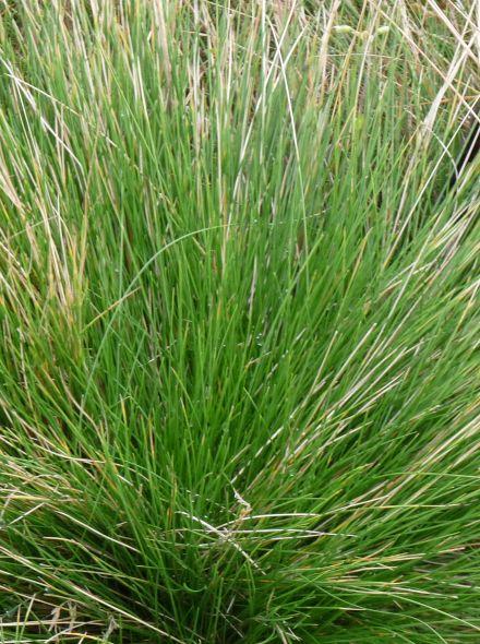 Sesleria autumnalis (Blauwgras, Autumn Moor Grass)