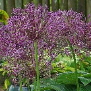 Allium christophii (Paarse sierui, Sterrenlook)