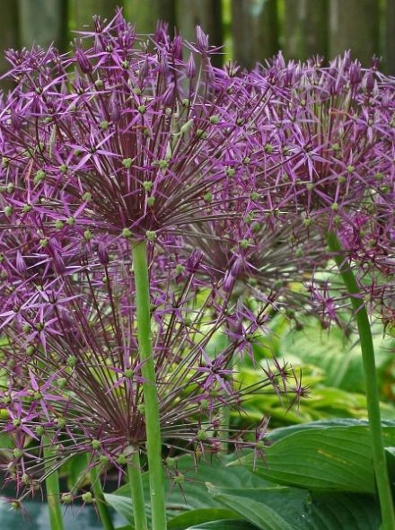 Allium christophii (Paarse sierui, Sterrenlook)