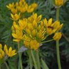 Allium molly (Goudlook)