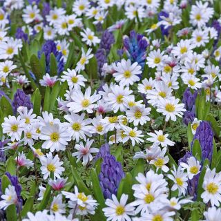 Anemone blanda 'White Splendour' (Witte anemoontjes, Oosterse anemoon)