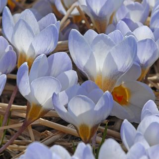Crocus chrysanthus 'Blue Pearl' (Lilablauwe Krokus)