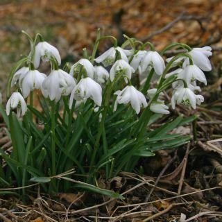 Galanthus nivalis 'Flore Pleno' (Sneeuwklokje)