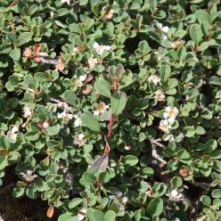Cotoneaster congestus - Dwergmispel