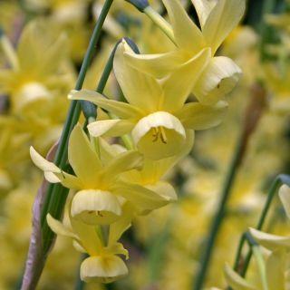 Narcissus 'Hawera' (Kleinbloemige gele Narcis)