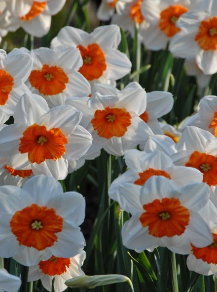 Narcissus 'Professor Einstein' (Witte Narcis met oranje trompet)