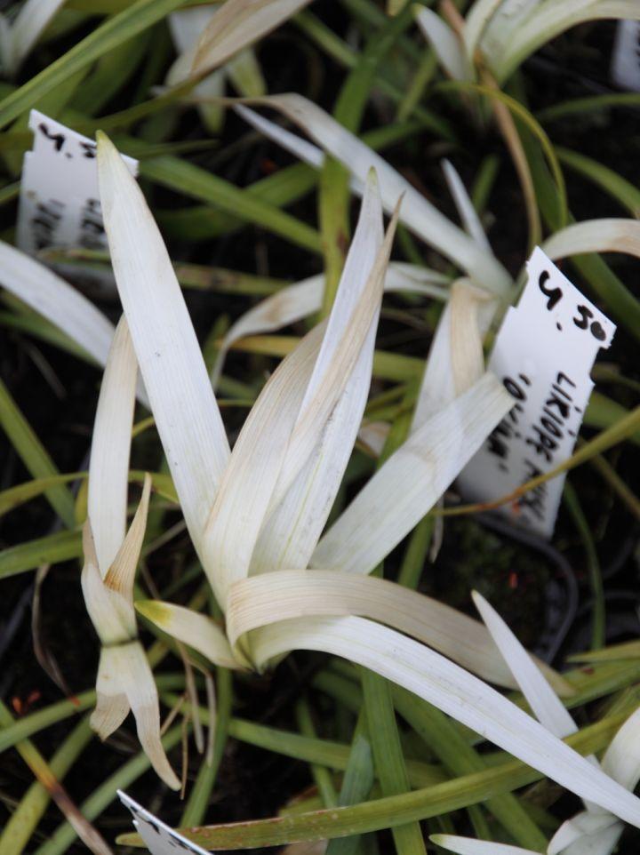 Liriope muscari 'Okina' - Leliegras
