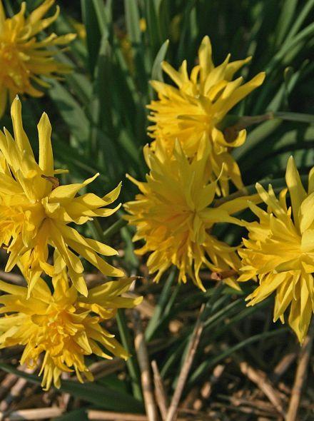 Narcissus 'Rip van Winkle' (Gele Narcis)