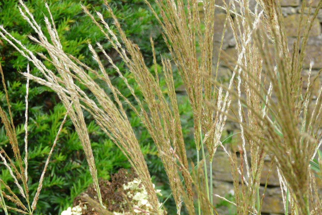 Miscanthus sinensis 'Kleine Silberspinne' (Prachtriet, Chinees riet)