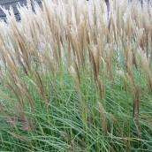 Prachtriet, Chinees riet (Miscanthus sinensis 'Herman Mussell') - p9