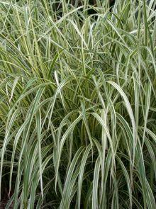 Miscanthus sinensis 'Variegatus' (Prachtriet, Chinees riet)