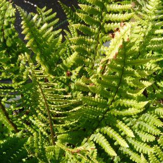 Dryopteris affinis (Geschubde mannetjesvaren)