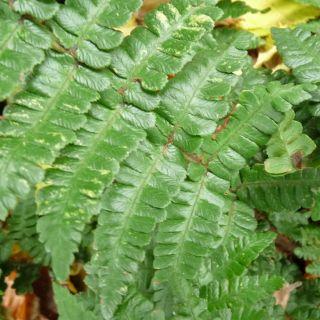 Dryopteris affinis 'Pinderi' (Geschubde mannetjesvaren)