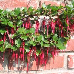 Ribes speciosum - Bes