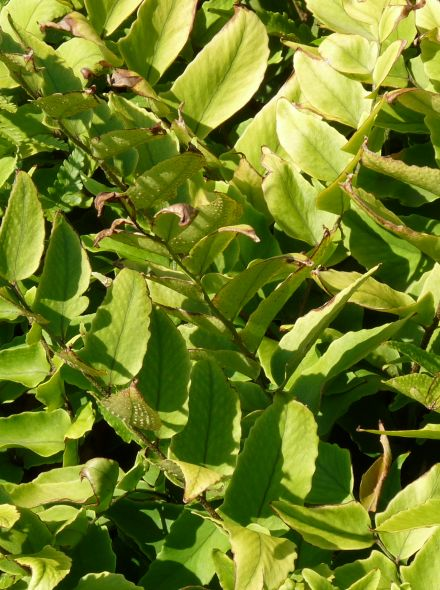 Cyrtomium fortunei (ijzervaren, sikkelvaren)