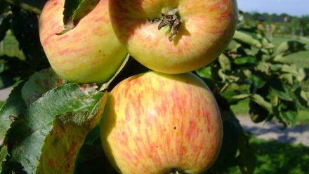 Fruitbomen in pot