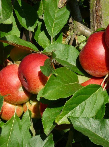 Appelboom Elstar (Elstar appel, halfstam in pot)