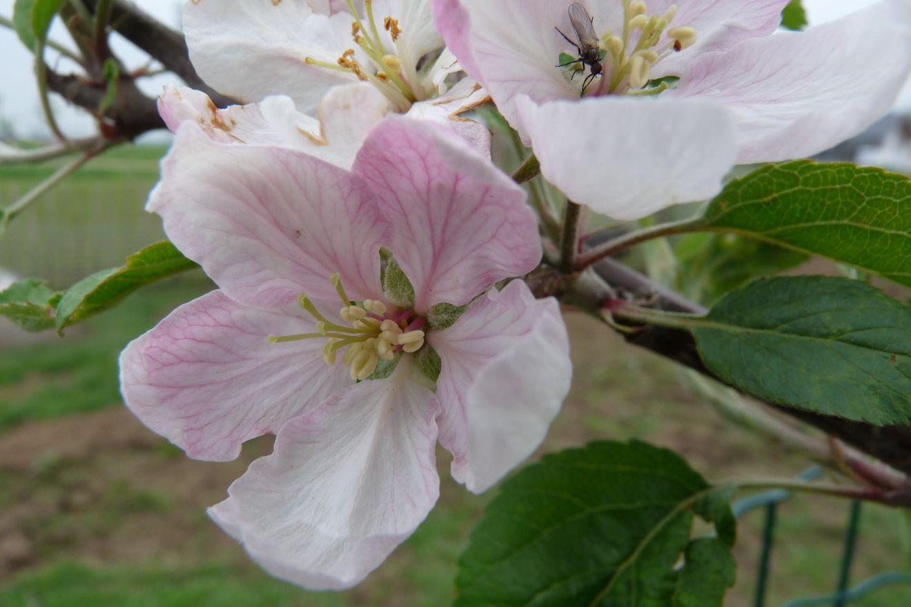 Appelboom Elstar (Elstar appel, halfstam)